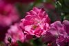 May 25, 2017 - roses