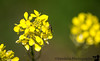 March 8, 2017 - Mustard yellows