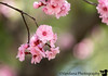 March 5, 2017 - Early pink blossoms