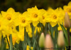"April 8, 2018 -""A host, of golden daffodils"".."