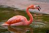 December 28, 2018 - Angry flamingo