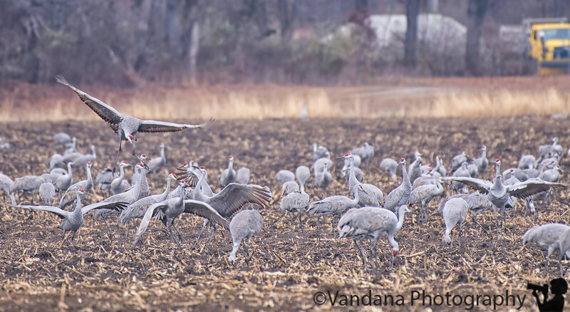November 27, 2018 - Sandhill crane antics at Jasper Pulaski NWR