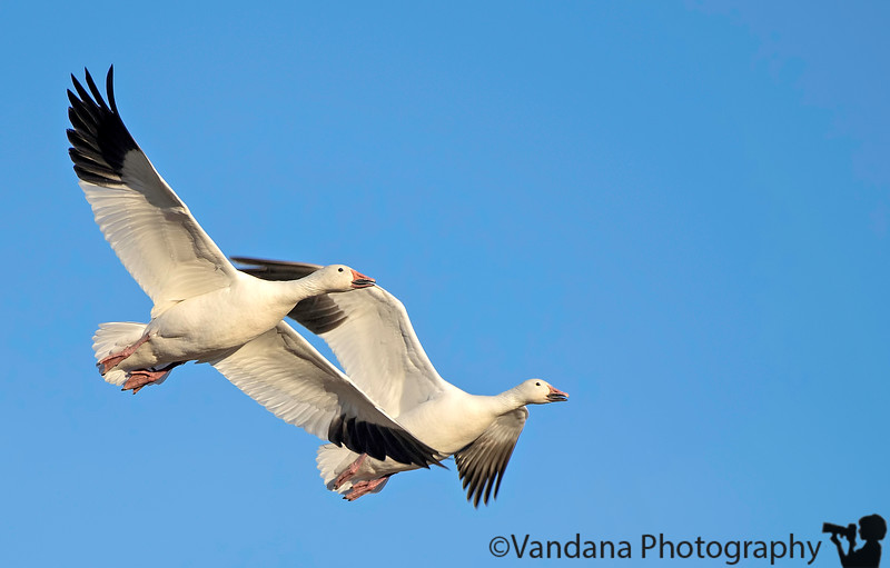 January 23, 2018 - Fly like a bird<br /> <br /> Snow geese in flight, Bosque NWR. I'm taking flight pictures after such a long time, all taken hand-held with Nikon D5+ 200-500mm lens ( very heavy !)