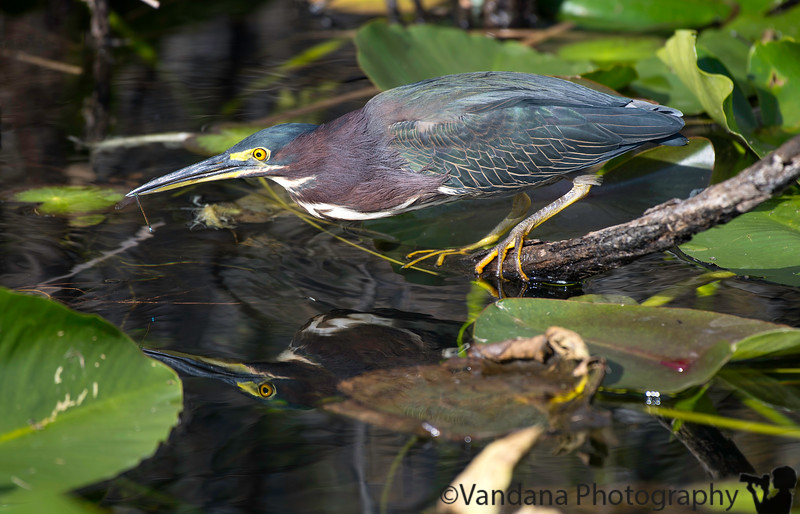 December 23, 2018 - Green heron catches a dragonfly ! <br /> Everglades National Park