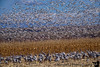 January 21, 2018 -  En-masse flight of the snow geese while the sandhill cranes look on ! <br /> <br /> another lovely, but extremely windy day at Bosque
