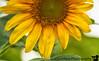 August 4, 2018 - Half a yellow sunflower