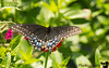 July 2, 2018 - Butterfly - Swallowtail ?