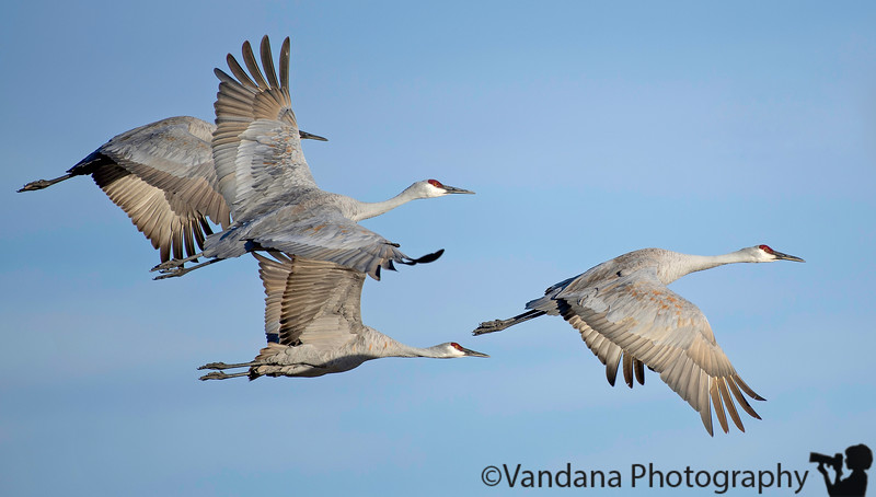 January 28, 2018 - Flight of the cranes -<br /> so many pictures, still amazed at Bosque, such lovely wing details !
