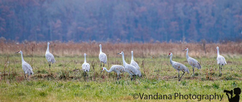 November 23, 2018 - A few sandhill cranes at Jasper-Pulaski National wildlife refuge<br /> many cranes far, far away, unable to be captured well by my 500mm lens.