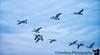 October 19, 2018 - Canada geese in flight