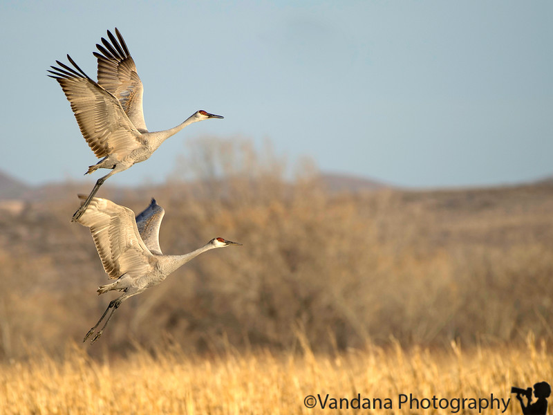 January 20, 2018 - Sandhill cranes in flight at Bosque Del Apache national wildlife refuge, NM<br /> <br /> Such pleasure photographing these cranes, and snowgeese. Visit to Bosque after about 9 yrs ! I hardly saw a single bird in the first 30min into the Bosque loop, was so disappointed, but then Bosque lived up to its expectations ! So beautiiul, as always , lovely NM light !
