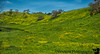 February 21, 2018 - the mustard flowers yellow all over Diablo mountains