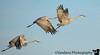 January 24, 2018 - Sandhill cranes in flight, Bosque NWR. <br /> <br /> Love taking photos of birds in flight, and getting those lovely wing details on camera !