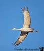 February 6, 2018 - The crane is flying ! <br /> <br /> I'm having my heart's full with these flying bird pictures ! My favorite thing to photograph is a bird's wing in great detail !