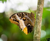 July 7, 2018 - Owl butterfly, Butterfly World