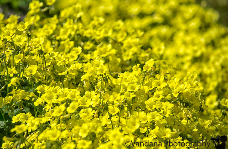 April 8, 2019 - Yellow bloom