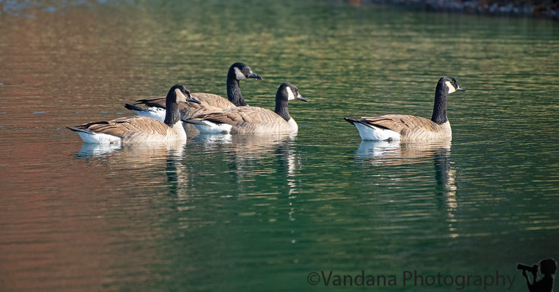 November 8, 2019 - Geese in the lake