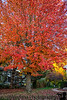 October 27, 2019 - The red tree