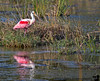 January 17, 2019 - the pink spoonbill