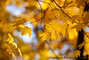 October 22, 2019 - Leaves of gold