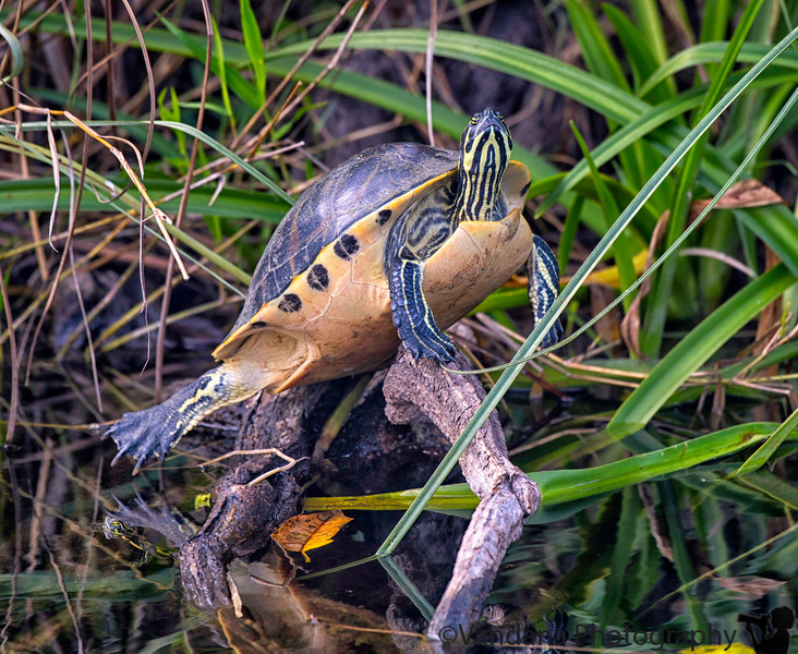 January 11, 2019 - Green Turtle, Everglades