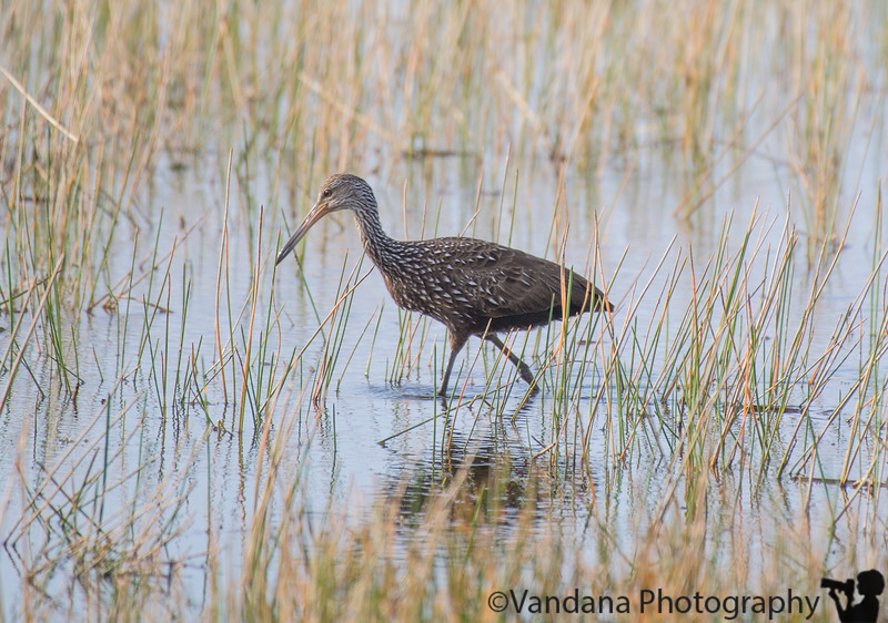 January 16, 2019 - The limpkin