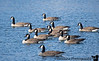November 11, 2019 - More Geese pictures