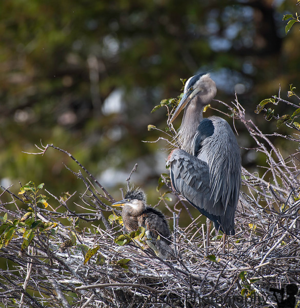 January 7, 2019 - Great blue heron and baby ! Wakodahatchee Wetlands, FL