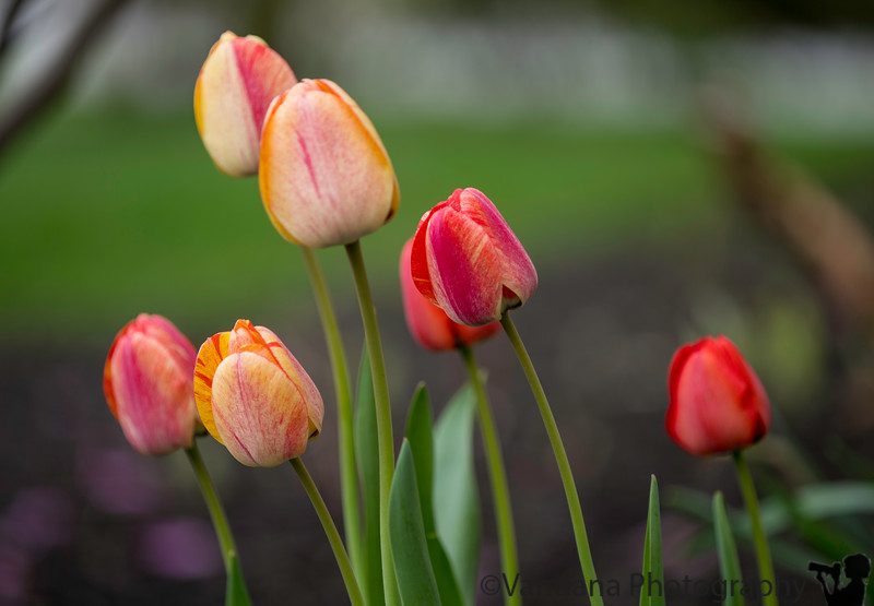 May 4, 2019 - More tulips