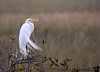 January 9, 2019 - Great snowy egret plummage