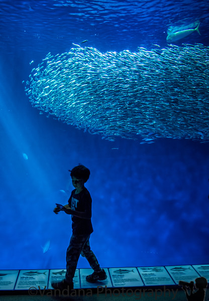 May 1, 2019 - silhouetted against the school of fish