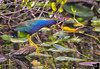 January 13, 2019 - Purple Gallinule, Everglades NP, FL