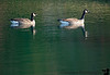 November 12, 2019 - Goose in Green waters