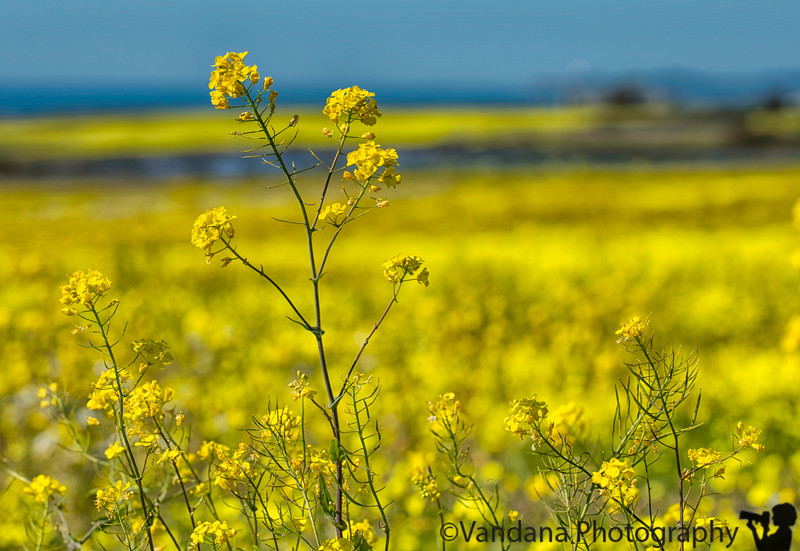 April 17, 2019 - Mustard flowers all over