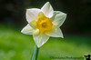 May 1, 2020 - Daffodil