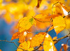 October 28, 2020 - Leaves of gold