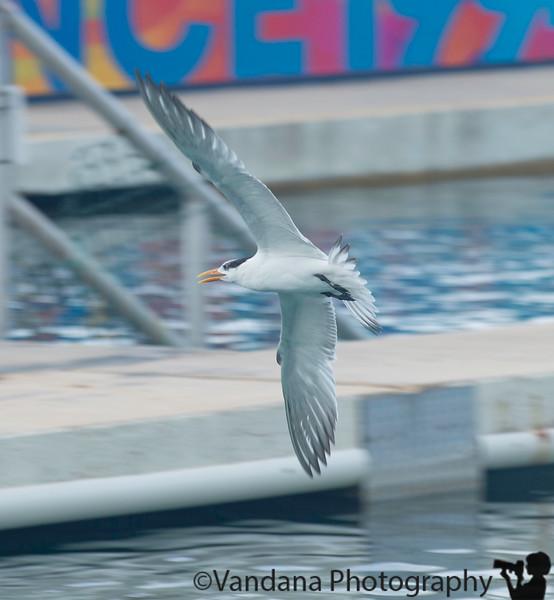 February 7, 2020 - Tern in flight