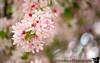 May 5, 2020 - Pink blossoms