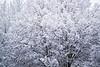 December 6, 2020 - Snow clad trees