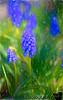 April 22, 2020- Grape hyacinths - painting style