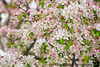 May 6, 2020 -photographing the pink blossoms in front of our home.. social distancing in pretty surroundings