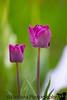 May 3, 2020 - purple tulips