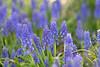 April 21, 2021 - full of grape hyacinths