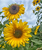 August 26, 2021 - Sunflowers