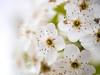 April 17, 2021 - blossoms 8