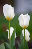 April 13, 2021 - Tulips at home