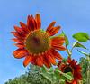 September 1, 2021 - Reddish orange sunflowers