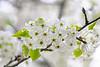 April 10, 2021 - blossoms 3