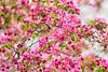 April 24, 2021 - Pink blossoms
