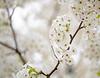 April 15, 2021 - blossoms 6